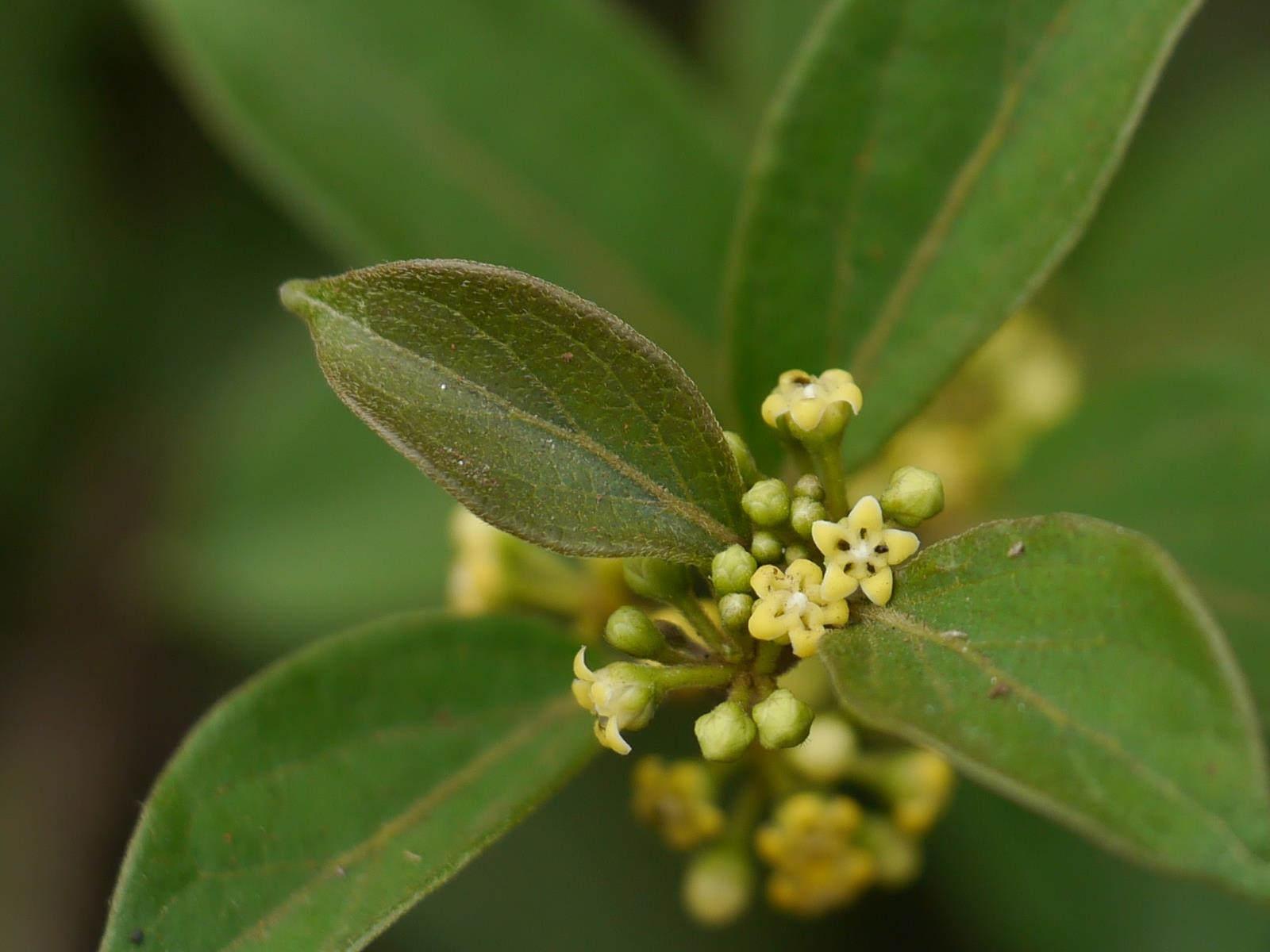 Tamibolic aide a la digestion grace aux vertues du gymnema sylvestre